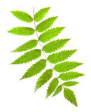 Rowan green leaf with yellow veins on a white background Royalty Free Stock Image