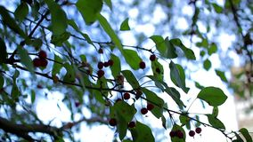 Rowan green leaves. Red berries on branches with green leaves stock footage