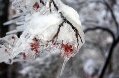 Rowan in the ice. Rowan frozen after freezing rain Stock Photo