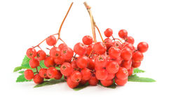 Rowan isolated on a white background cutout. Raspberries with leaves isolated on a white background cutout Stock Photos