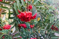 Rowan jagoda z podeszczowymi kroplami Obrazy Stock