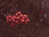 Rowan jagody na gałąź Obraz Royalty Free