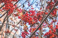 Rowan jagody w jesieni Obraz Stock