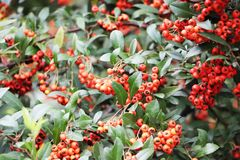 Rowan jagody w jesieni zdjęcia royalty free