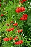 Rowan jaskrawy jagody Obrazy Royalty Free