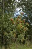 Rowan krzak Zdjęcie Royalty Free
