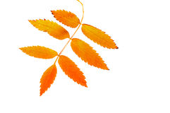 Rowan  leaf. Royalty Free Stock Images