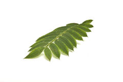 Rowan leaf Stock Image