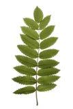 Rowan leaf Stock Image