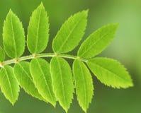 Rowan leaf Royalty Free Stock Photo