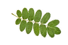 Rowan leaf Royalty Free Stock Image