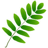 Rowan leaf Stock Photo