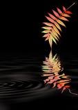 Rowan Leaf Reflection stock photo