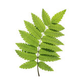 Rowan Leaf Vetora verde Fotos de Stock Royalty Free