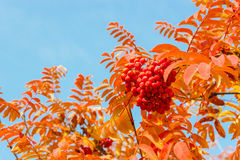Rowan leaves and berries Stock Images