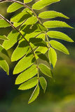 Rowan leaves. Green rowan leaves in the sunshine Stock Photos
