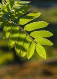 Rowan leaves. Green rowan leaves in the sunshine Royalty Free Stock Photo