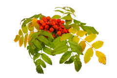 Rowan and leaves Royalty Free Stock Images