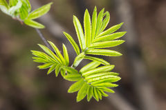 Rowan leaves in spring Stock Photography