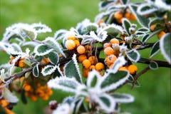 Rowan liście w mrozie Fotografia Royalty Free