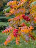 Rowan maduro vermelho oscila dos ramos de árvore no outono no parque Fotos de Stock