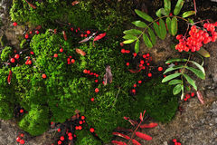Rowan and moss. The composition of moss and red ash Stock Photo
