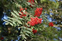 Rowan, mountain ash. Rowan with berries in fall Royalty Free Stock Image