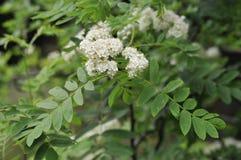 Rowan. Or Mountain Ash Flowers - Sorbus aucuparia Royalty Free Stock Photos
