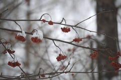 Rowan no inverno em um ramo Fotos de Stock Royalty Free