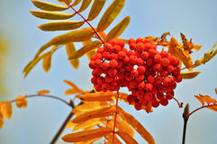 Rowan in October against the sky. Stock Images