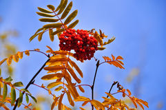 Rowan in October against the sky. Royalty Free Stock Photography