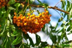 Rowan orange berries and leaves. Closeup macro photo Royalty Free Stock Photos