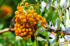Rowan orange berries and leaves. Closeup macro photo Stock Photo