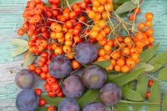 Rowan owoc i jagody Obraz Royalty Free