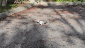 Rowan pigeon eats season tree wildlife stock footage