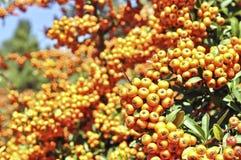 Rowan plant stock image