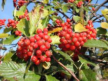 Rowan plant with red berries, Lithuania Stock Photos