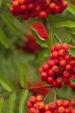 Rowan red. Decorative red fruit of a rowan tree stock photo