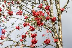 Red berries of rowan. Rowan red berries on the branch royalty free stock photography