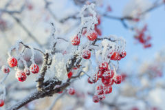 Rowan with red berries covered with hoarfrost. Branch of rowan with red berries covered with hoarfrost Royalty Free Stock Image