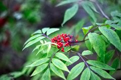 Rowan. Red berries rowan on a green leaf background Stock Photo