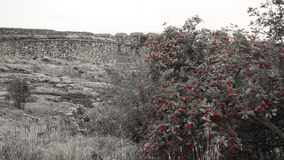 Rowan. Red rowanberry on black and white background Royalty Free Stock Image