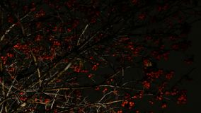 Rowan red with flying leaves against the background of the night sky. In the city park in autumn stock footage