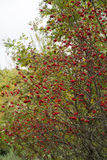 Rowan with red fruits Stock Photography