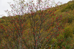 Rowan with red fruits Stock Images