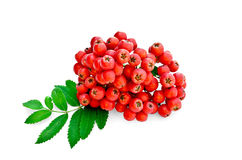 Rowan red with leaves. Rowan berries red ripe with green leaves with a light shade on white background royalty free stock photos