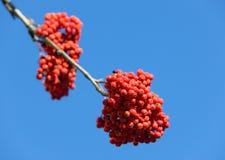 Rowan with ripe berries Royalty Free Stock Image