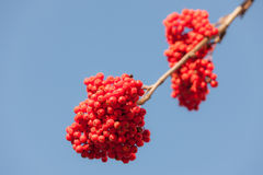 Rowan with ripe berries Royalty Free Stock Image