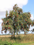 Rowan with ripe berries, Sorbus aucuparia. The European rowan, lat. Sorbus aucuparia, is planted also as street tree, like here at a country road in Mecklenburg Stock Photography