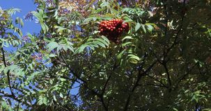 Rowan with ripe fruits. Of mountain ash in the light of the morning sun in the city park of South Butovo stock video footage